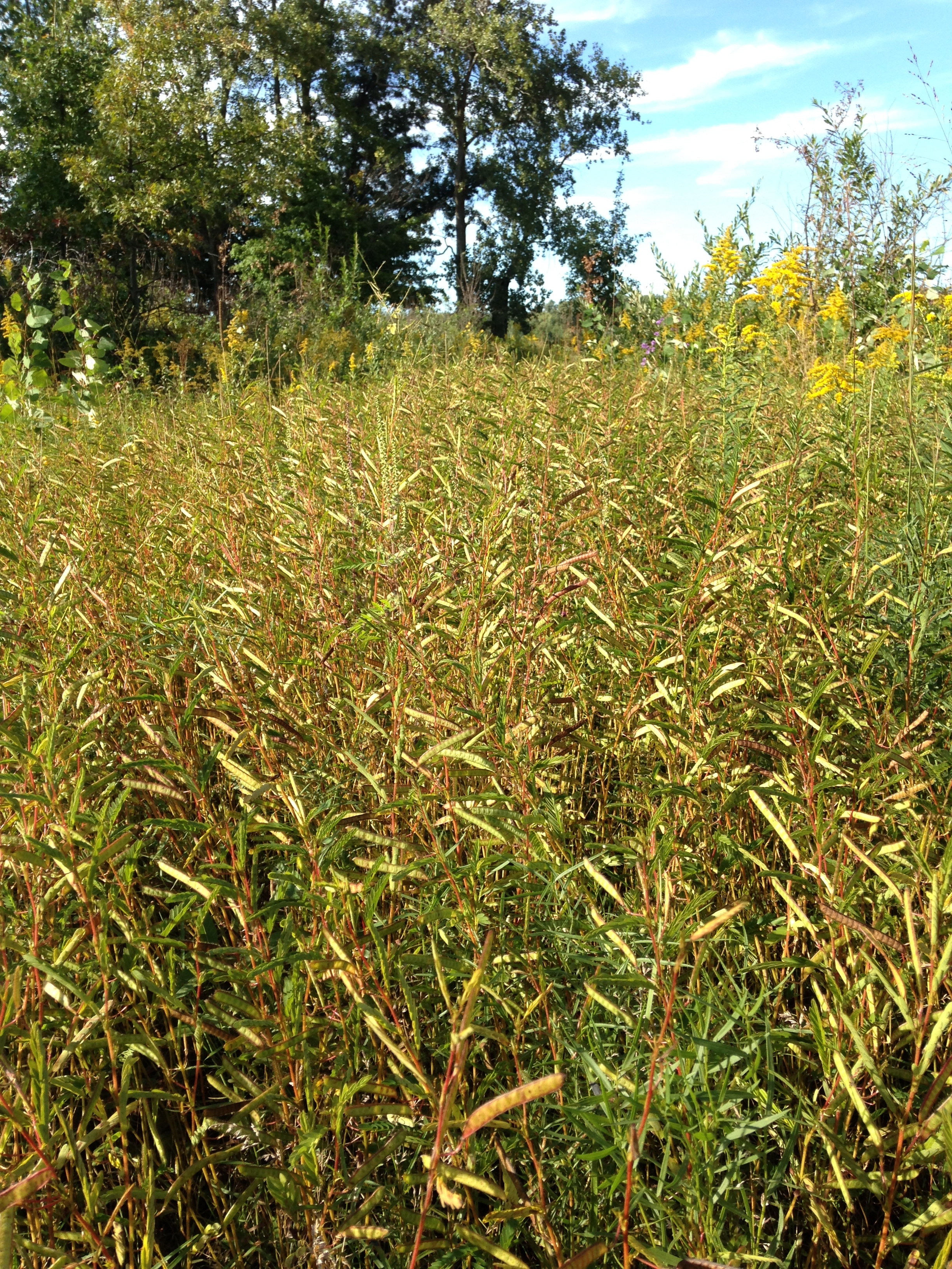 Dense stand of C. fasciculata at Erie Sands Preserve